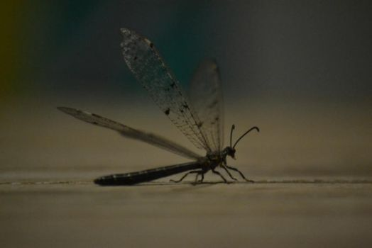 Dragonfly by aqualicioussss