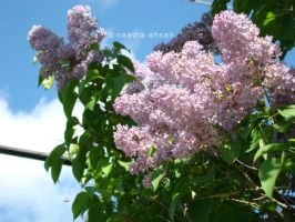 Lilacs III by Resensitized