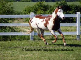 Paint Horse 29 by EquineStockImagery