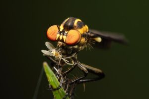 Robber Fly with dinner by gmazza