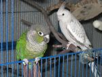 Archie the GCC and Firestorm, the WF Pearl Tiel by Vampiric-Conure