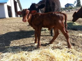 Oomhs and 2014 Heifer calf by Minotaur-Queen