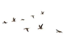 Flying Birds 04 PNG Stock by Roys-Art