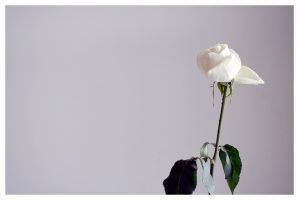 White Rose 02 by Shaggy87
