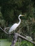 Great Egret 20D0036432 by Cristian-M