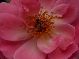 Bee in pink by JanuaryGuest