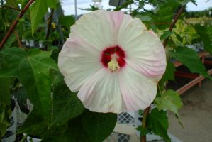 White and pink rose of sharon by EruwaedhielElleth