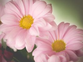 Pink Daisies (I) by DrAndrei