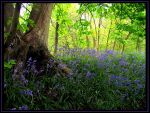 Bluebells by parallel-pam