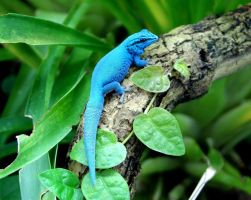 Electric blue day-gecko by NicoJacob