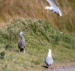 Heron vs. the Gulls by ARC-Photographic