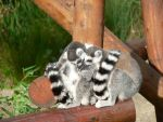 RingTail baby by Tigoness