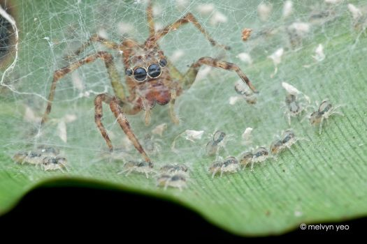 Mother Jumping Spider and her spiderlings by melvynyeo