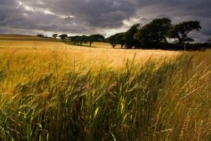 Fields of Gold by itsamiracle by Scapes-club