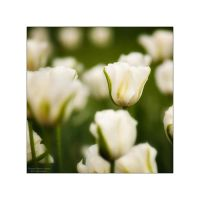 Tulips by manroms