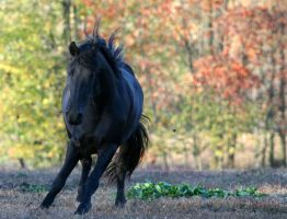 For the love of a Friesian by LarissaAllen