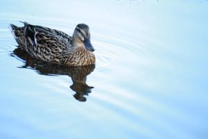 Duck on the Water by BookOfMyLife