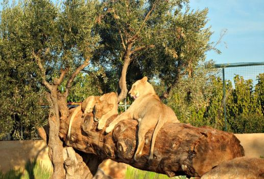 Lionesses by Despina33