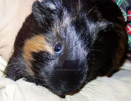 Meatball - Guinea Pig by Momma2One