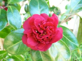 Red Camellia by Applemac12