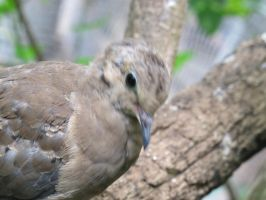 Placid Mourning Dove 2 by Windthin