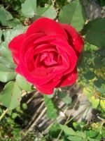 Red roses are red... by BlueberryCrazy