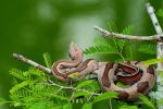 suriname stripe boa no.03 I by bertonemorgan