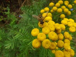Drone Fly on Tansy III by SkyfireDragon