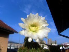 Argentine giant  echinopsis candidans 3 by CactusThorns