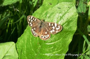 Speckled Wood. by AdrianDunk