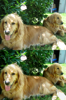 Jeanna's Goldens by TearsofEndearment