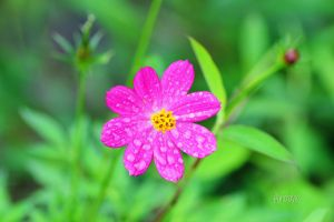 Flor Rosa by Alkhumeia