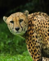 cheetah500 by redbeard31