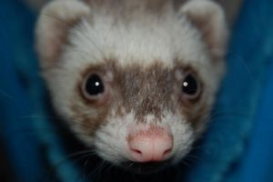 Ferret by WickedSpuddlz
