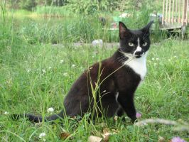 Stock: Black and white cat by Think-Outside-Of-Box