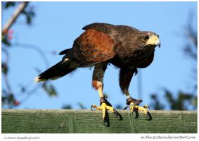 Harris Hawk Above Me by In-the-picture