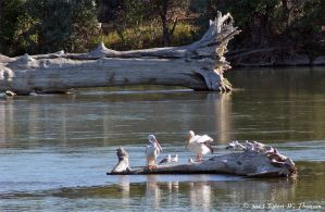 Pelicans and Gulls by hunter1828