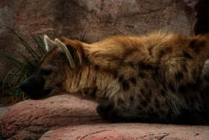 The Curious Hyena by roamingtigress