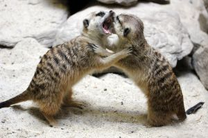 Wrestling Meerkats by faolruadh