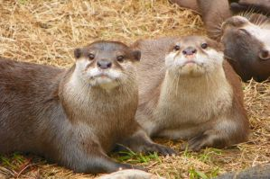 Cute Asian Small-Clawed Otters resting by DingoDogPhotography