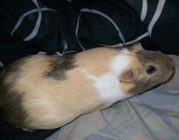 guinea pig stole my bed by lovefistfury