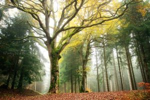 Lordly Oak by ~FlorentCourty