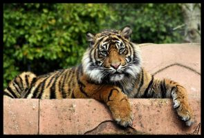 Tiger 09 by Alannah-Hawker