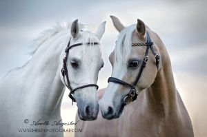 Beautiful Ponies by Hestefotograf