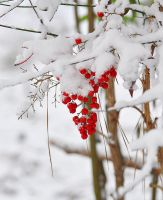Snow Berries 2 by Tailgun2009