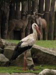 White Stork 07 by animalphotos