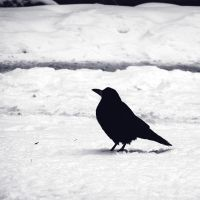 Jackdaw. by Croiea