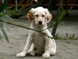 English Setter Puppy by greedy-peri