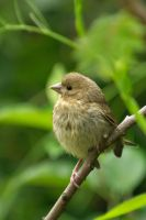 Greenfinch Juvenile by WestLothian