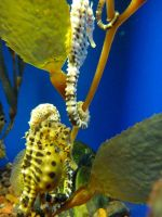 seahorses by agent229